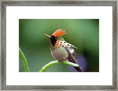 Tufted Coquette Hummingbird Framed Print