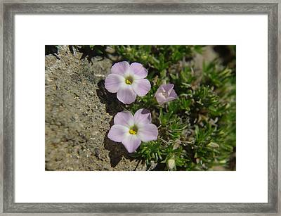 Tufted Phlox Framed Print