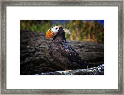 Tufted Puffin Framed Print by Mark Kiver