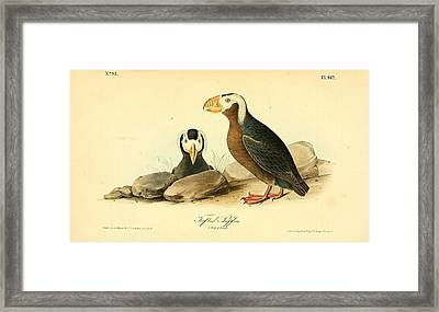 Tufted Puffins Framed Print by Philip Ralley