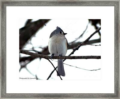 Tufted Titmouse 1 Framed Print by Gena Weiser