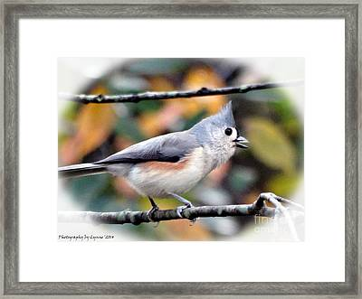 Tufted Titmouse 2 Framed Print by Gena Weiser