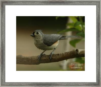 Tufted Titmouse Close Up Framed Print by Amanda Collins