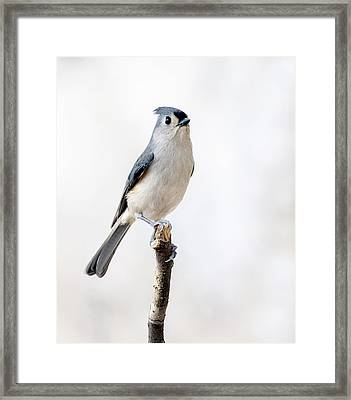 Framed Print featuring the photograph Tufted Titmouse by David Lester