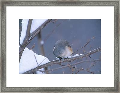Tufted Titmouse Eating Seeds Framed Print