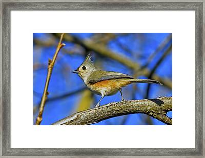 Tufted Titmouse Framed Print by Gary Holmes