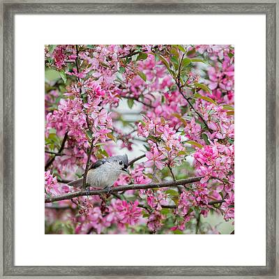 Tufted Titmouse In A Pear Tree Square Framed Print