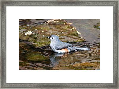 Tufted Titmouse In Pond II Framed Print by Sandy Keeton