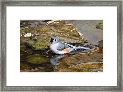 Tufted Titmouse In Pond Framed Print by Sandy Keeton