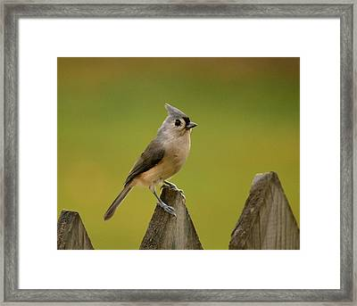 Tufted Titmouse Framed Print by Judy Genovese