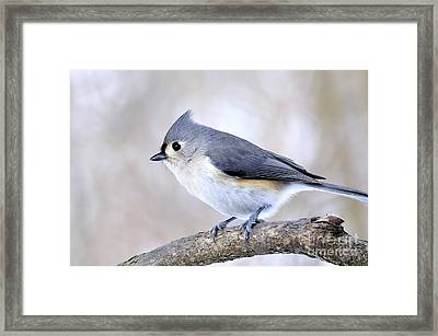 Tufted Titmouse On Dogwood 3 Framed Print