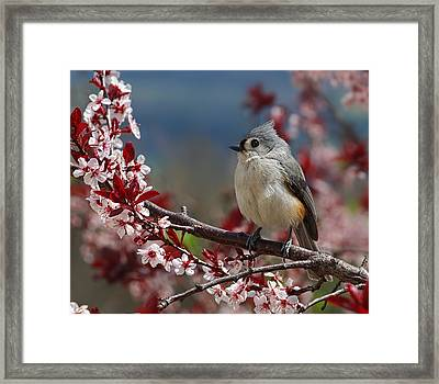 Tufted Titmouse On Ornamental Plum Blossoms Framed Print by Lara Ellis