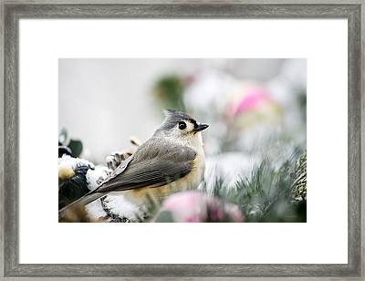Tufted Titmouse Portrait Framed Print by Christina Rollo