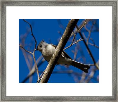 Tufted Titmouse Framed Print by Robert L Jackson