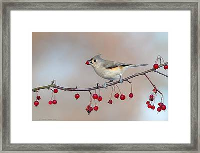Tufted Titmouse With Red Berry Framed Print by Daniel Behm