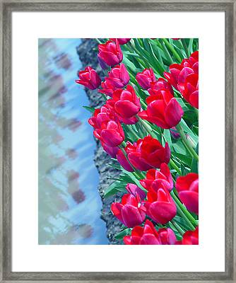 Tuip Reflections Framed Print