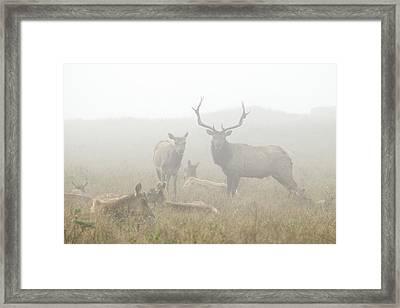 Tule Elk Bull And Harem In Fog Point Framed Print