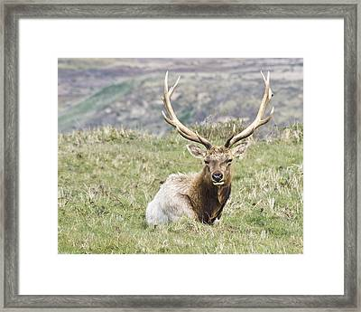 Tule Elk Bull Framed Print by Priya Ghose
