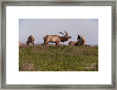Tules Elks At Historic D Ranch At Point Reyes National Seashore California 5dimg2587 Framed Print