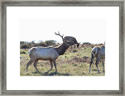 Tules Elks Of Tomales Bay California - 7d21199 Framed Print by Wingsdomain Art and Photography