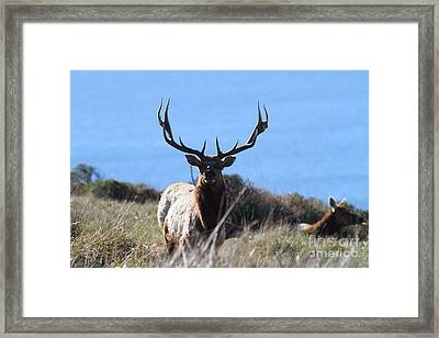 Tules Elks Of Tomales Bay California - 7d21201 Framed Print