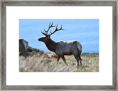 Tules Elks Of Tomales Bay California - 7d21218 Framed Print