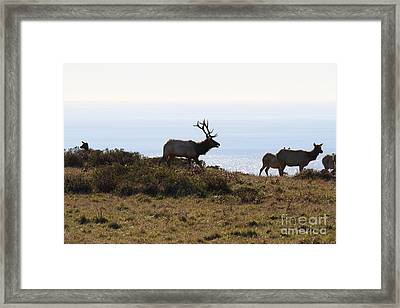 Tules Elks Of Tomales Bay California - 7d21230 Framed Print by Wingsdomain Art and Photography