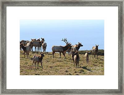 Tules Elks Of Tomales Bay California - 7d21236 Framed Print