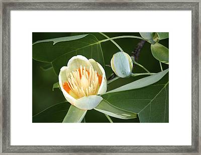 Tulip 2 Framed Print