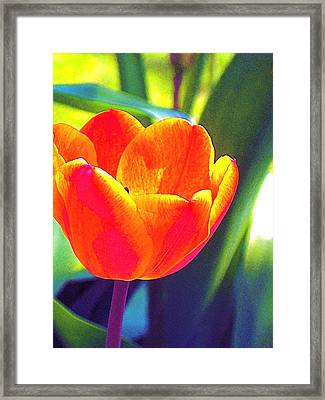 Framed Print featuring the photograph Tulip 2 by Pamela Cooper