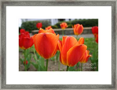 Tulip Collection Photo 2 Framed Print
