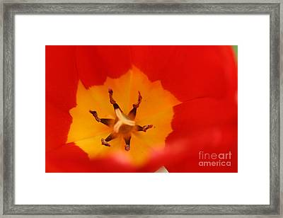 Tulip Collection Photo 3 Framed Print