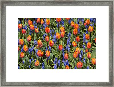 Tulip And Grape Hyacinth Framed Print by Kevin Schafer