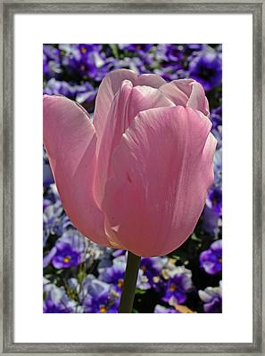 Tulip And Pansies Framed Print by Larry Bishop