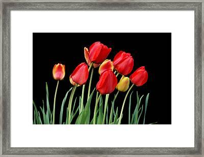 Tulip Band Framed Print