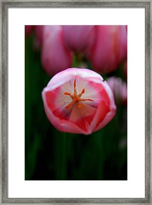 Framed Print featuring the photograph Tulip Beauty  by Haleh Mahbod