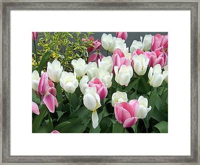 Purple And White Tulips Framed Print by Catherine Gagne