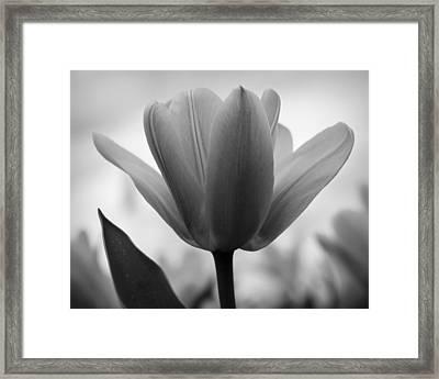 Tulip - Black And White Framed Print