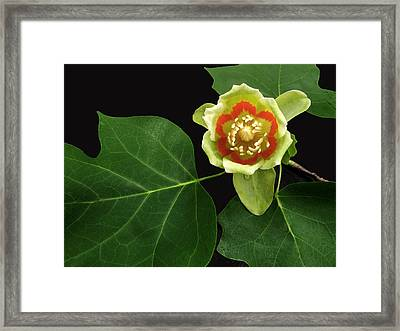 Tulip Bloom Framed Print