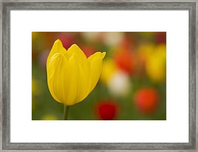 Tulip Bokeh Framed Print by Nick  Boren