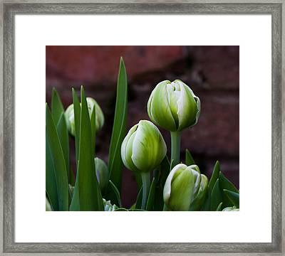 Tulip Buds Framed Print
