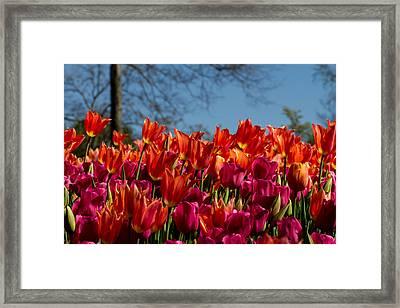 Tulip Chatter Framed Print