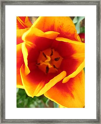Tulip Close Up Framed Print
