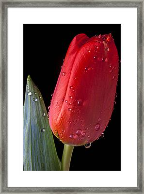 Tulip Close Up Framed Print by Garry Gay