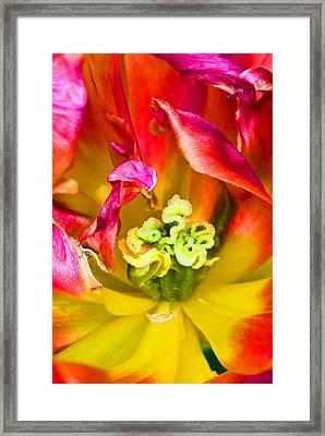 Tulip Close Up Framed Print