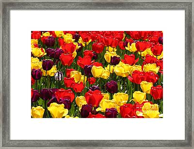 Tulip Colors Framed Print by Tap On Photo