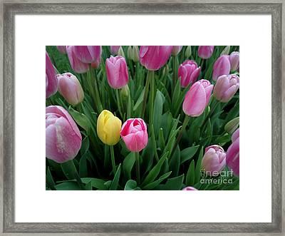 Tulip Festival - 36  Framed Print
