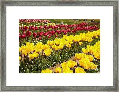 Tulip Field Framed Print by Nur Roy