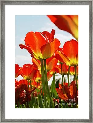 Tulip Field 1 Framed Print by Rudi Prott