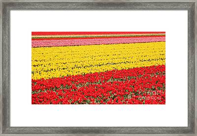 Tulip Fields 1 Framed Print by Jasna Buncic